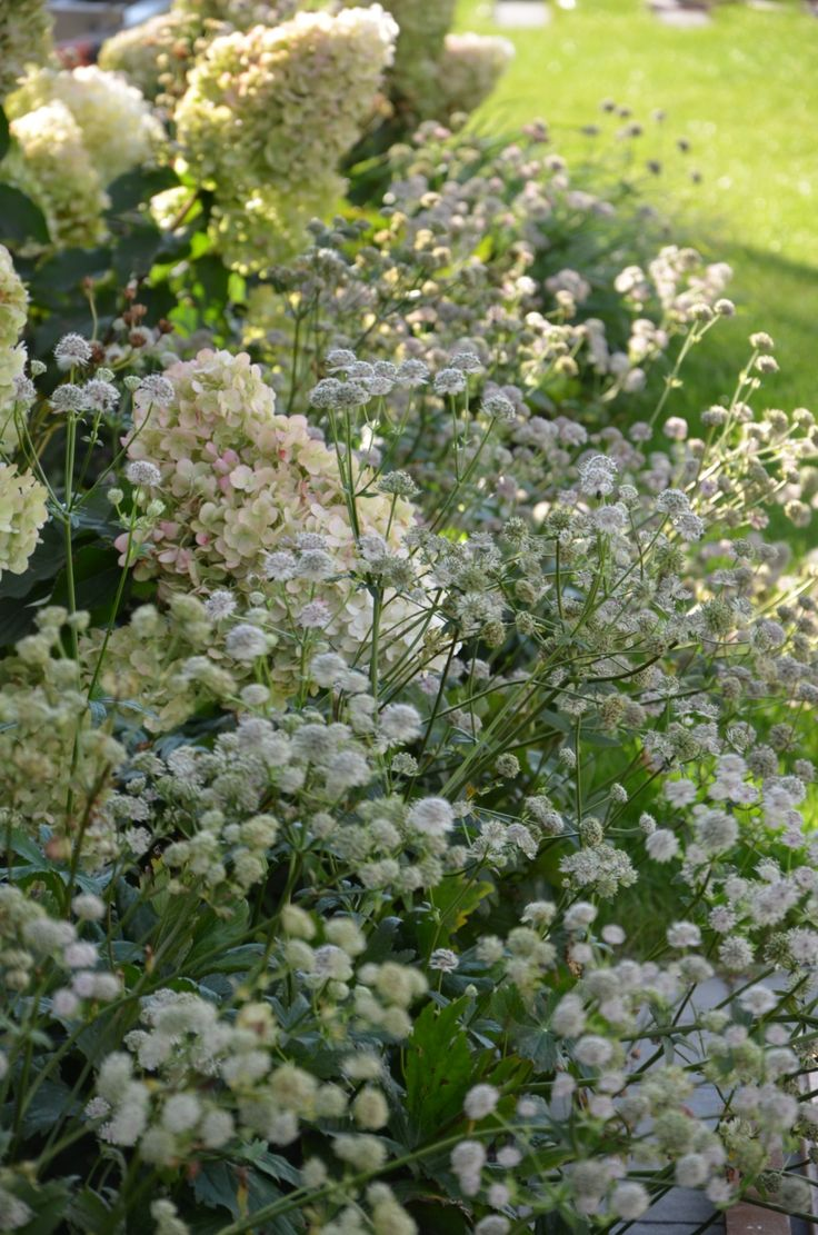 astrantia major with hydrangea landscape modern garden malkul