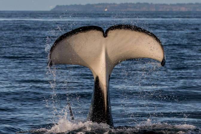 orca-6