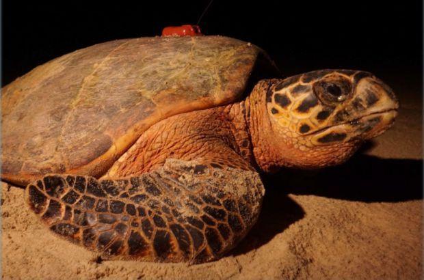 Estudo acompanha rotas de tartarugas-de-pente e analisa dados relevantes para Unidades de Conservação