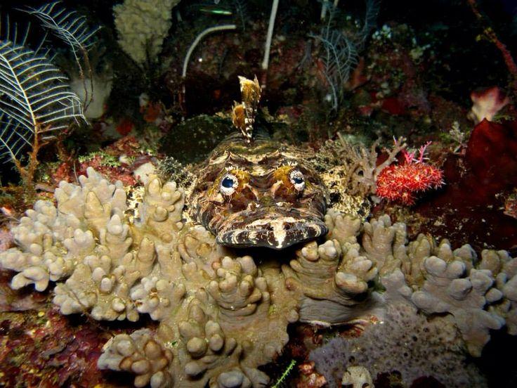Crocodile Fish. Raja Ampat, West Papua.