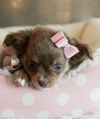 Carol the Chihuahua