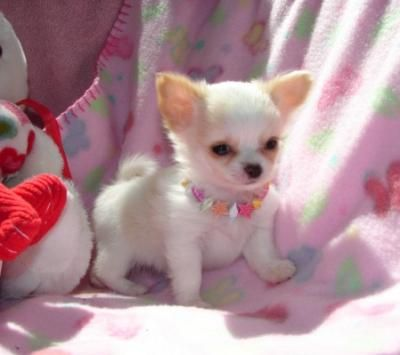 Lovely chihuahua puppies for adoption Beautiful Chihuahua puppies for good home ready to go now for new home playful vet checked vaccinated excellent health condition UKKC registered just contact for more information they will come with all papers and acc