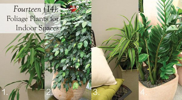Fourteen (14) foliage plants for indoor spaces. Create striking focal points around your home with architectural foliage plants.   #indoor #plants #aboutthegarden