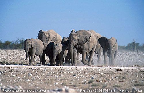 Herd of elephants in Etosha pan (Etosha National Park, Namibia) - Namibia travel guide: http://www.safaribookings.com/namibia