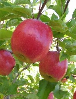 Burchell Pink Apple Tree Shipped in Soil by Clifton's Nursery