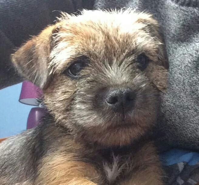 Adorable Lily | Border Terrier