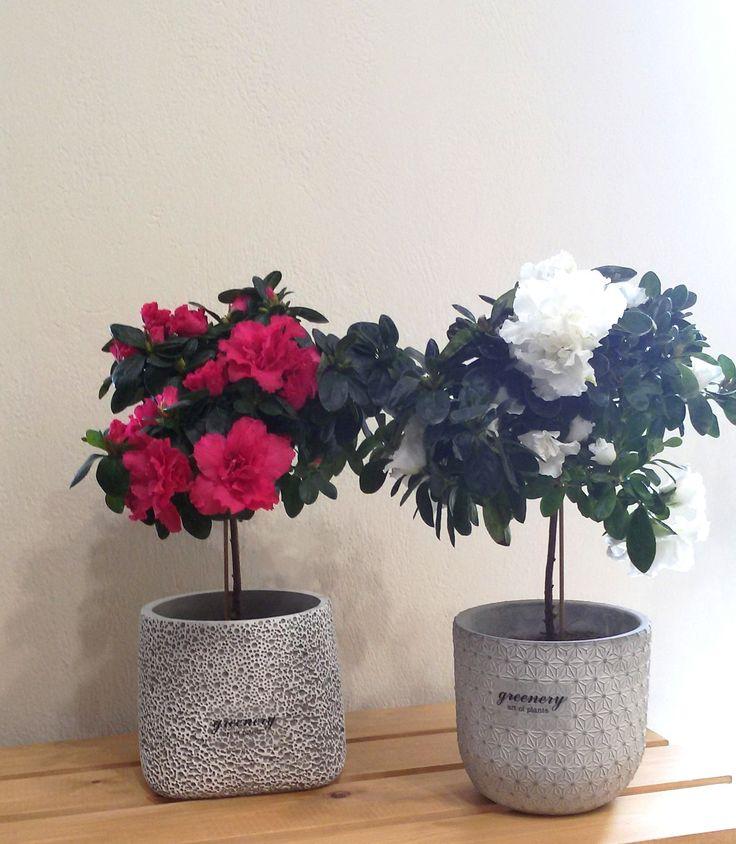 Pink and white azalea! #greenery #greeneryartofplants #flower #chania #crete