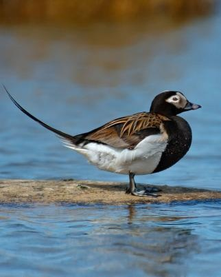 Long-tailed Duck or Oldsquaw (Clangula hyemalis) is a medium-sized sea duck. It is the only living member of its genus, Clangula; this was formerly used for the goldeneyes, with the Long-tailed Duck being placed in Harelda.