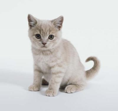 European Shorthair: Brilliant Animal, European Shorthair So, Shorthair Pet, Cat 3, European Shorthair Looks, Cat Cat Cat, Shorthair Kittens, Cat Alogu, European Shorthair Dawwww