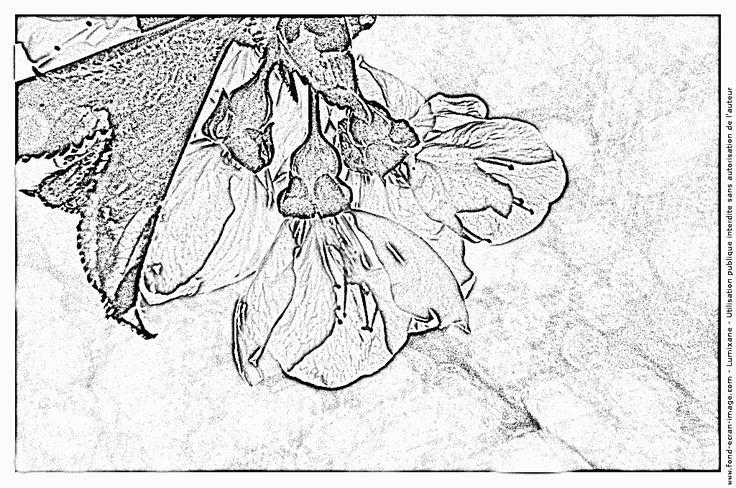 Imprimer Coloriage Floraison Cerisier Burlat