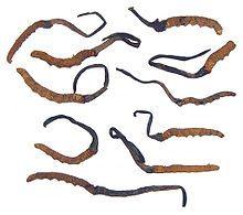 Ophiocordyceps sinensis - Nepal Caterpillars with emerging Ophiocordyceps sinensis
