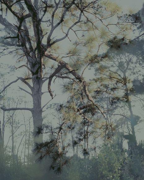 Les grands pins