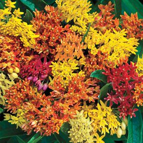 New Items - Gay Butterflies Mix Butterfly Weed