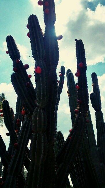 Pitaya #mexicana