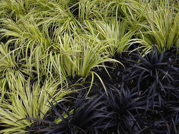Bolder statements: black grass Ophiopogon planiscapus 'Nigrescens' against a Japanese sweet flag (Acorus gramineus 'Ogon') makes a real statement