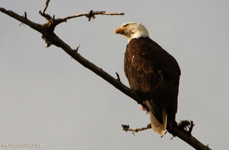 Bald eagle in Alaska's Inside Passage, Alaska United States.