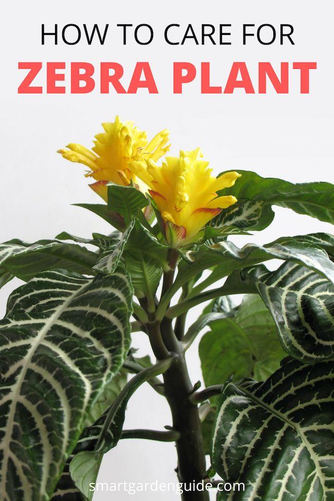 Zebra Plant Care How To Grow Aphelandra Squarrosa Zebra Plant