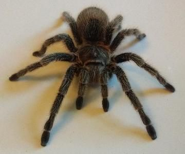 Rose Hair Tarantula is available for adoption on AllPaws.com. View and share Rose Hair Tarantula's profile and help them find a home!