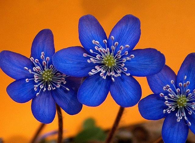1000+ images about Orange & Blue flowers on Pinterest ...
