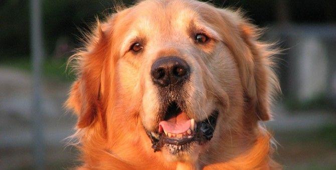 Best Homemade Dog Food Golden Retrievers