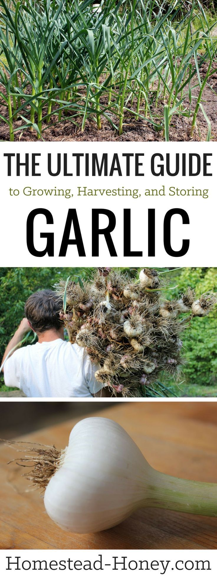 Treasured for its medicinal and culinary properties, garlic is also incredibly easy to grow in your home garden. Learn more in The Ultimate Guide to growing, harvesting, and storing garlic | Homestead Honey