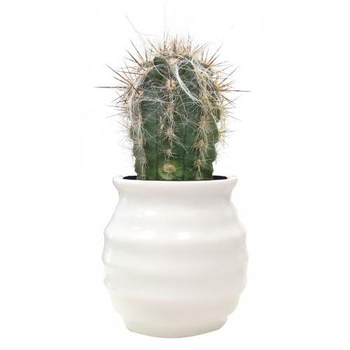 Oreocereus neocelsianus, en macetero HONEY, realizado en cerámica blanca brillante, disponible en MyCoolCactus.com; precio orientativo 5€, $6.17