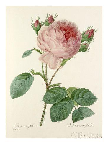 Rosa centifolia: Rosier à cent feuilles Giclee Print at AllPosters.com