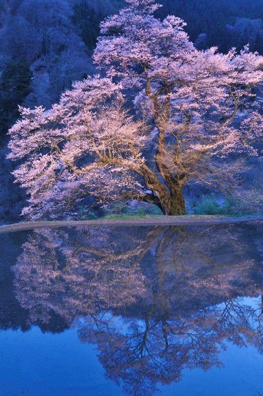 駒つなぎの桜 by 越智京子 #桜 #CherryBlossom #reflection