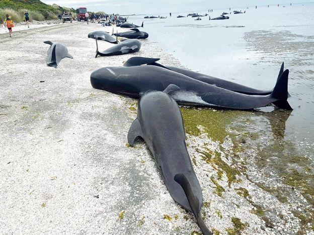 """Ratusan ikan paus mati terdampar   70 peratus daripada 416 ikan paus pilot mati terdampar di Farewell Spit.  WELLINGTON - NEW ZEALAND. Lebih 400 ikan paus ditemui mati terdampar menurut Jabatan Pemuliharaan New Zealand semalam. Pengurusnya Andrew Lamason berkata kira-kira 416 ikan spesies pilot itu terdampar di Farewell Spit di Golden Bay di bahagian utara Pulau Selatan. """"70 peratus daripadanya telah mati dan usaha menyelamatkan baki ikan paus yang masih hidup sedang giat dijalankan kumpulan…"""