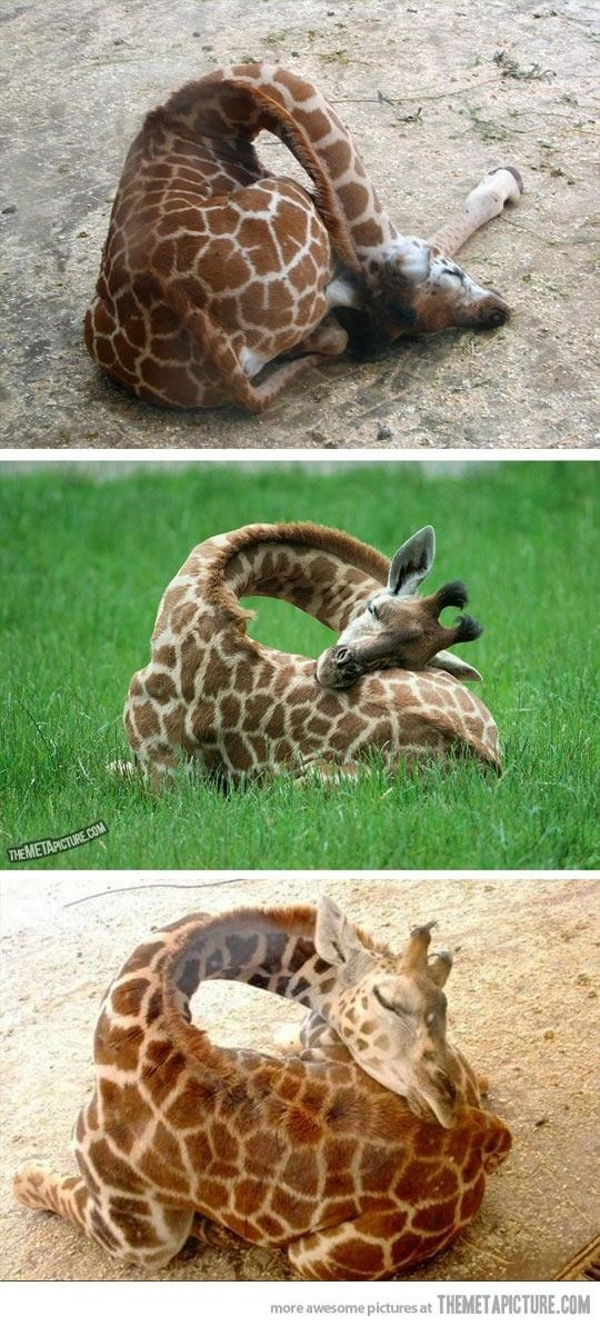 How baby giraffes sleep…most giraffes sleep standing up they are like horses if they lay down for to long they will die