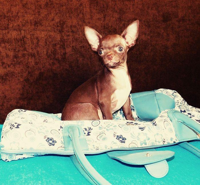 Щенки Чихуахуа из питомника! Более 500 щенков Чихуахуа в каталоге! Все щенки привиты, документами и клеймом! https://www.instagram.com/chihuahua_msk/