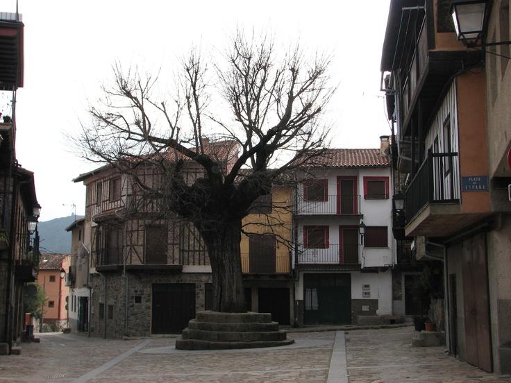 La Plaza Mayor de Herguijuela de la Sierra está presidida por un tremendo Olmo, creo recordar que es un olmo, uno de los supervivientes de la grafiosis.
