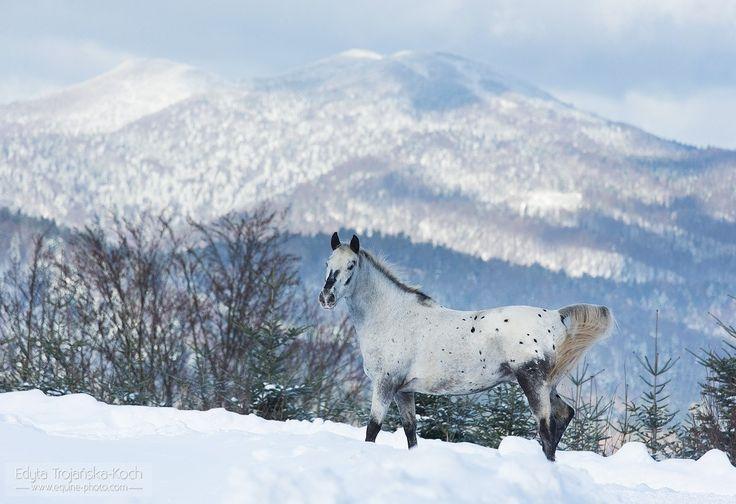 Appaloosa in the snow.jpg - Appaloosa gelding in winter