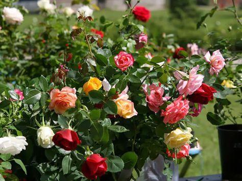 Cu�ndo y c�mo plantar rosales