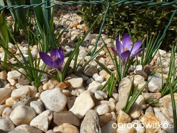 Ogrodnik Mimo Woli cd - strona 2185 - Forum ogrodnicze - Ogrodowisko