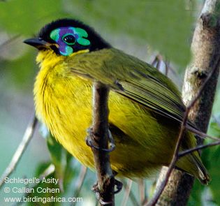 Google Image Result for http://www.birdingafrica.com/IMAGES_from_Feb09/MADschlegelsAsity315wCC.jpg
