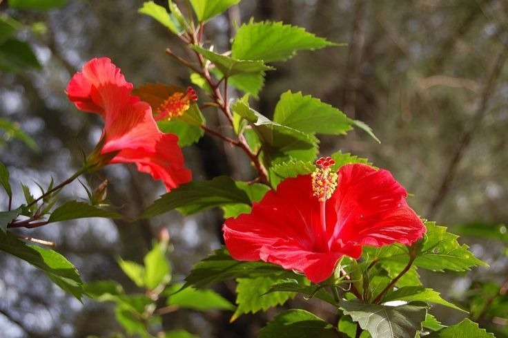 Nome Botânico:Hibiscus rosa sinensis Nomes Populares :Hibisco, mimo-de-Vênus Família :Família Malvaceae Origem:Originário da Ásia e disseminado p