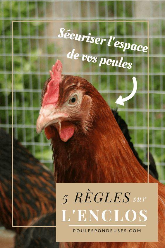 Les five règles à respecter pour l'enclos de vos poules pondeuses