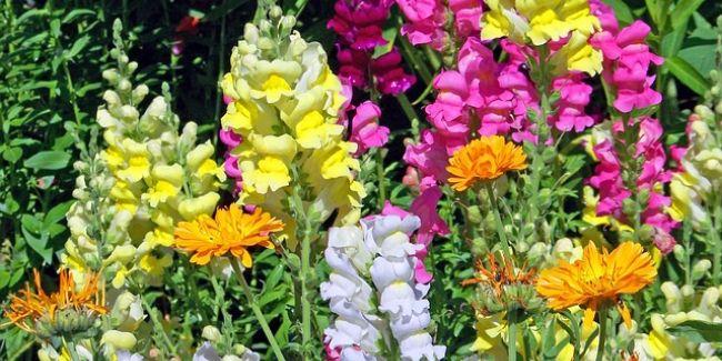 Plante vivace éphémère appelée couramment