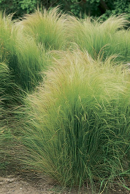 Mexican Thread Grass (Stipa tenuissima) is a soft, billowy grass with fast growth and low water needs, making it ideal in the xeriscaped garden.