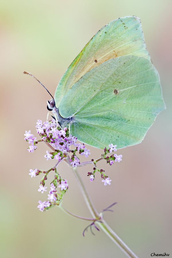 Iridescent green butterfly. Soft lavender flower. A little bit of magic. This is going to be my tattoo with all 4 kids names in windsong font.