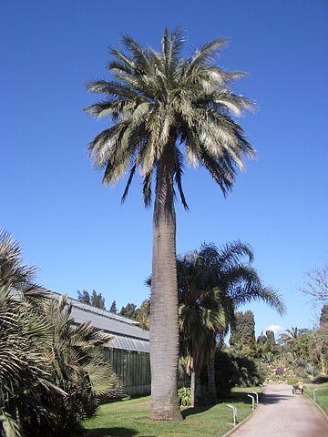 Chilean wine palm, jubaea chilensis