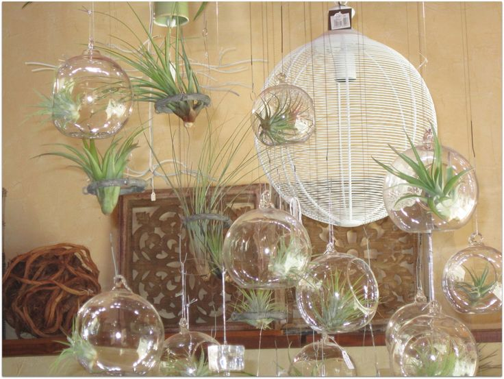 Las tillandsias, los jarrones colgantes y los aros todo disponible en la tienda on-line popurriregalos.com