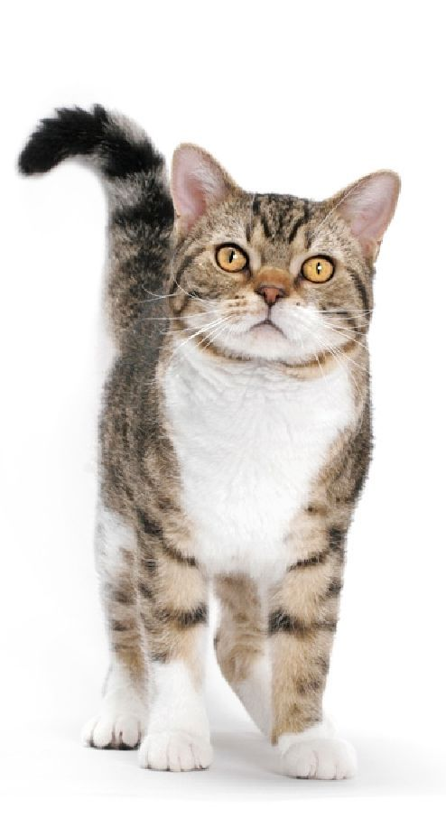 The 10 best American Wirehair Cats And Kittens Pictures images on ...