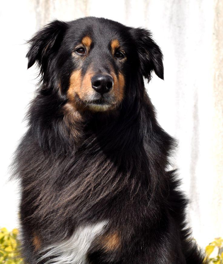 Sam - English Shepherd
