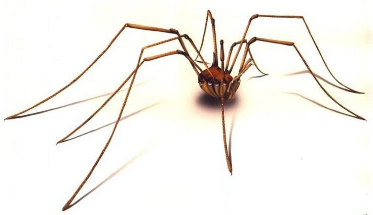 Daddy Long Legs.  We loved playing with them when we were kids.  They were all over the place when we camped in the California mountains over the summers.  I know... kinda weird.