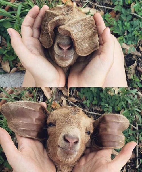 """asian: """" dizzybud:   """" omg """" What kind of dog is this """"   Looks more like a goat or kangaroo to me...hmmm, I dunno."""