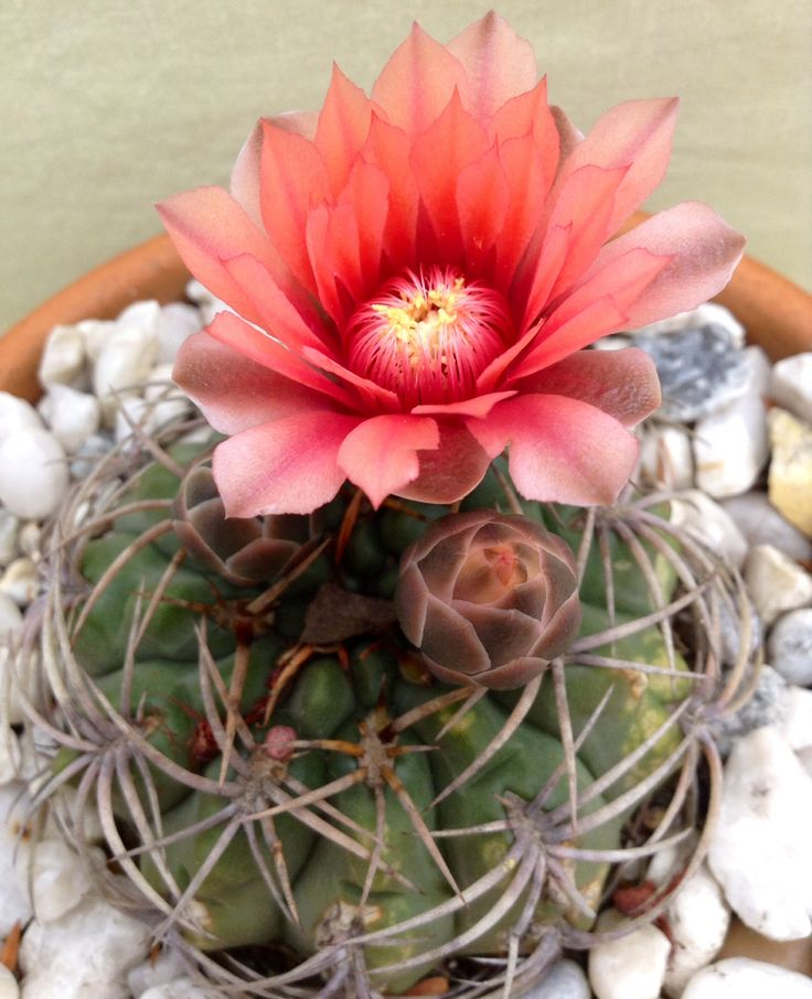 17 best images about cactus on pinterest plants agaves for Flowering plants names and pictures