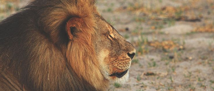 Compassion, Shame and Cecil the Lion | RELEVANT Magazine