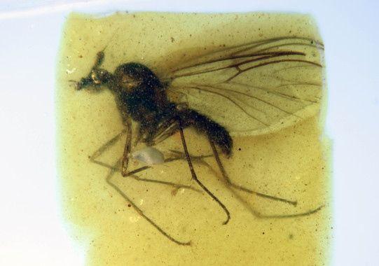 Descubierta una nueva especie de mosca en el ámbar de Teruel.